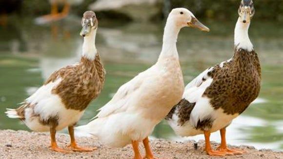 124802 ducks27 - 23 JULY 2005 - A trio duck wanders