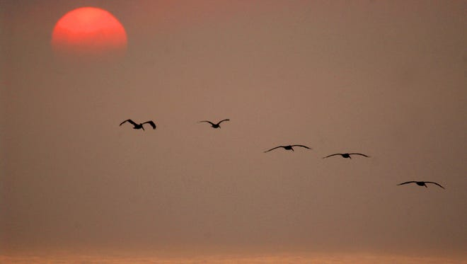 A group of pelicans coast over the waters of the Atlantic Ocean off the Eastern Shore of Virginia just after sunrise in this undated file photo.