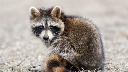 A rabid raccoon was found May 6 in Barrington.