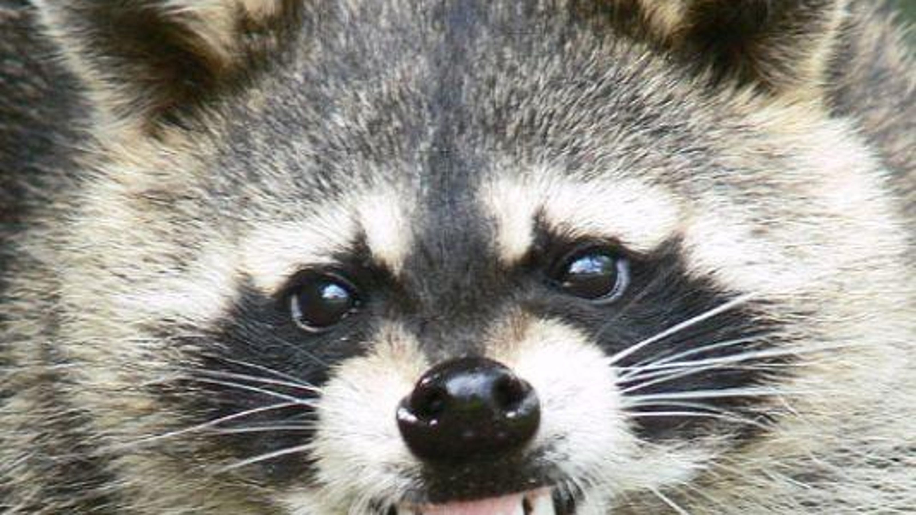 Aggressive raccoon spotted in Onancock, officials warn
