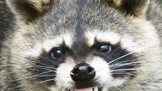 A raccoon in King's Creek, similar to this animal, recently tested positive for the rabies virus.