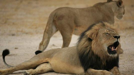 "A much-loved Zimbabwean lion called ""Cecil"" with a signature black mane, was tempted outside Hwange National Park using bait and then shot in July."