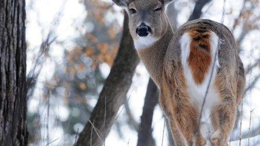 File photo of a white tail deer