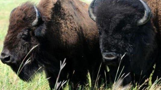 Buffalo can be dangerous