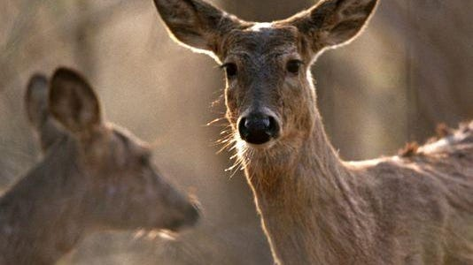 Michigan has tested deer taken in numerous locations for PFOS chemicals, but there is no evidence so far to suggest Livingston County deer are unsafe to consume.