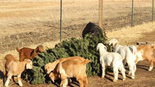 Several goats munch Dec. 23 on a pine tree in Reno, Nev.