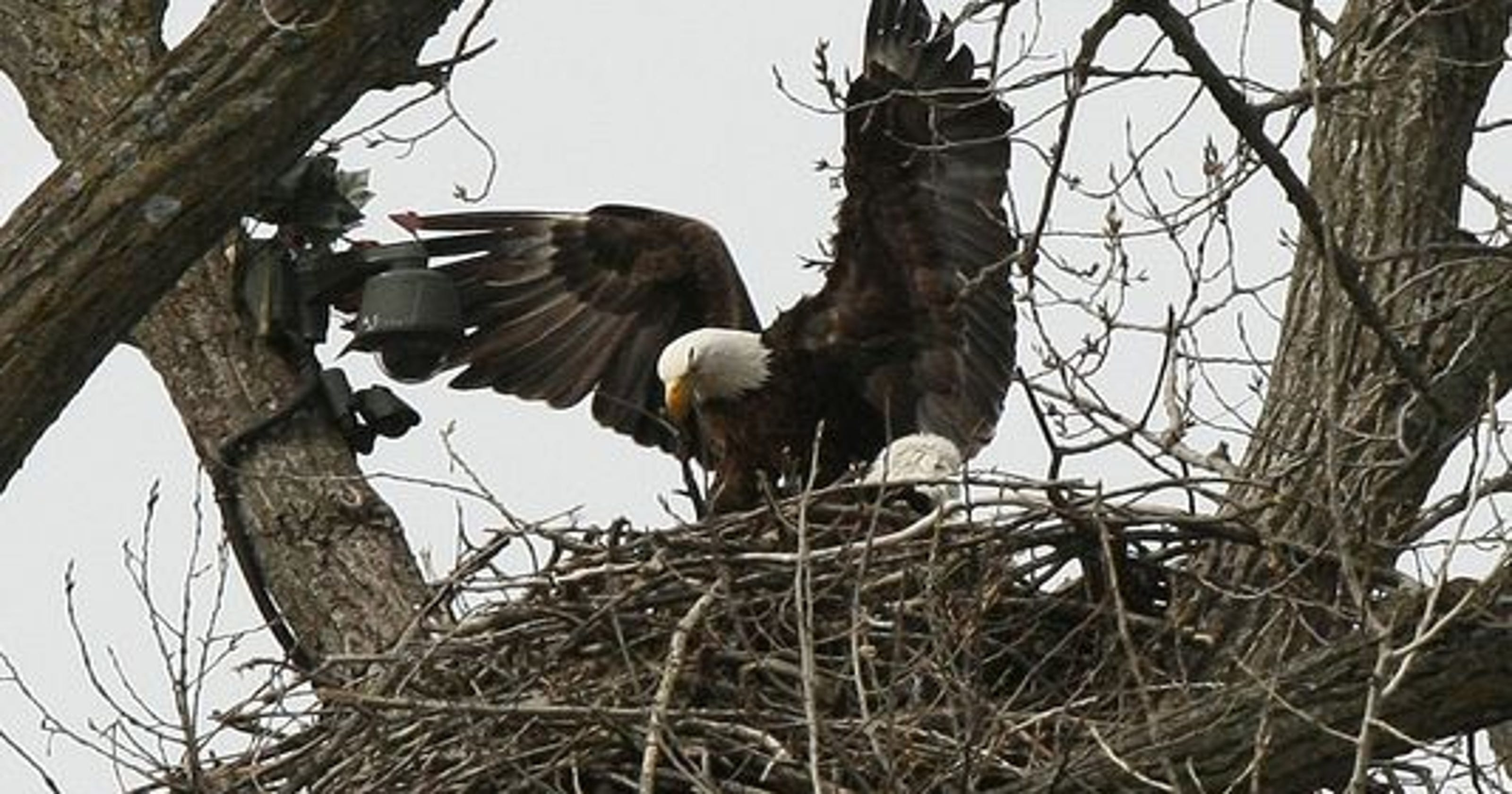 An Eagles Nest Is The M Located In Tallest Center Tree This Next Has Been By Same Eagle Pair For At Least 17 Years