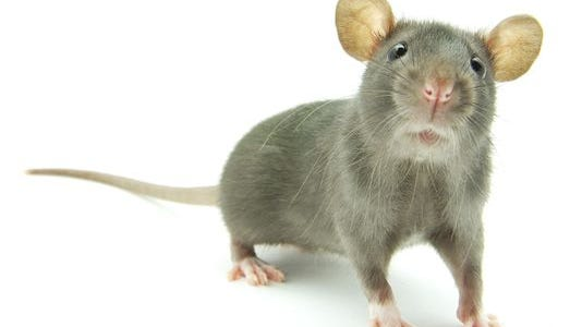 Detroit ranks as the No. 7 rattiest city in America, according to Orkin.