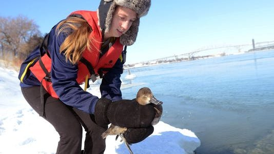 Chelsea Borkovich of Fort Gratiot releases back into the river a redhead duck after warming it up in her father's van Monday. The Borkoviches rescued half dozen birds frozen in St. Clair River ice.