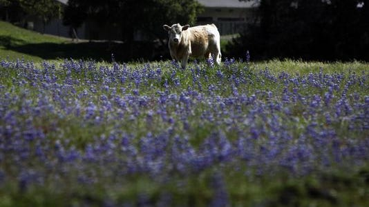 In this file photo, a cow grazes in a lupine field off Highway 68 in Monterey County.