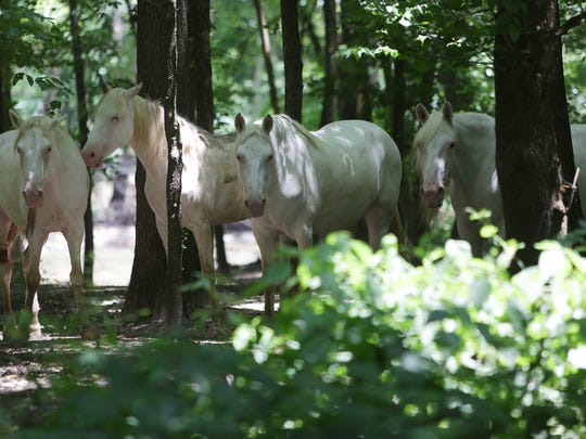 The Shawnee Creek horses keep cool in the trees along
