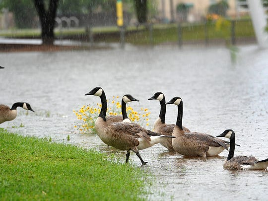 A group of Canada geese at Sikes Lake didn't seem to mind the pouring rain at all as the Wichita Falls area received about an inch Friday morning.