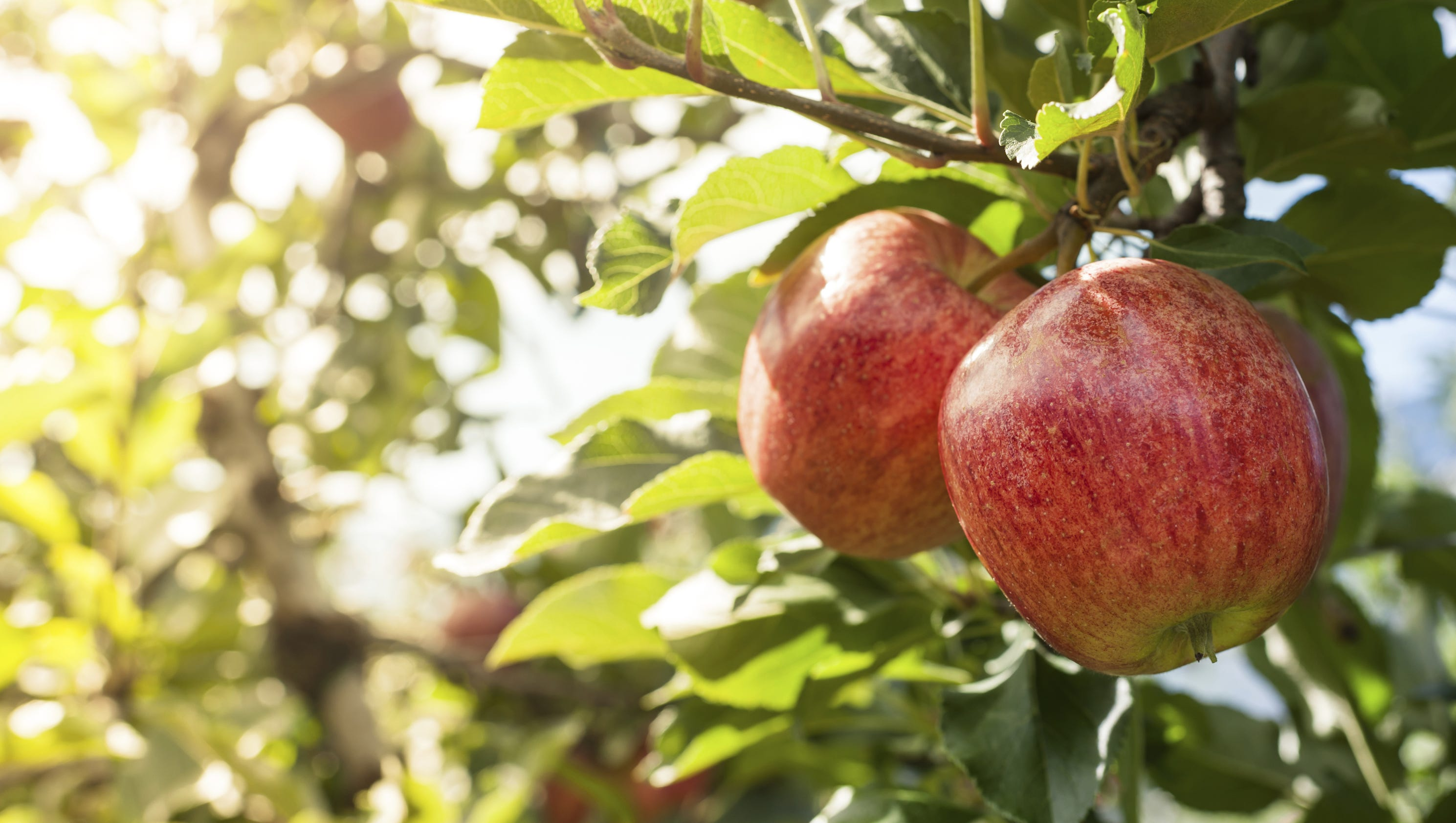 Apple Picking 2017 Where To Go In Ny And Nj