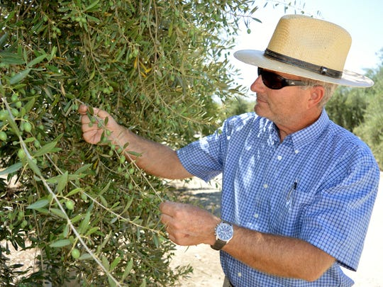 Vito DeLeonardis inspects a Manzanilla olive tree on his ranch in Ivanhoe in this 2016 file photo. Olive farmers across the valley are reeling after a major table-olive processor terminated contracts to buy their produce without notice.