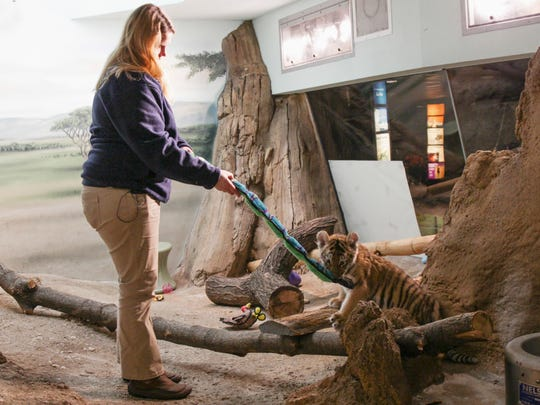 Milwaukee County Zoo zookeeper Amanda Ista plays with Amur tiger cub Kashtan at the zoo in Milwaukee.