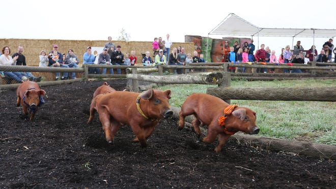Festival-goers cheer during last year's Pig-Tucky Derby races at French Prairie Gardens Pumpkin Patch in St. Paul.