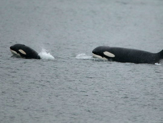 An orca calf surfaces in the front as a pod of transient