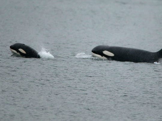 An orca calf surfaces in the front as a pod of transient orcas swim past Bachmann Park as snow flurries fall in Bremerton on Tuesday, Feb. 20, 2018. (AP Photo / Meegan M. Reid, Kitsap Sun)