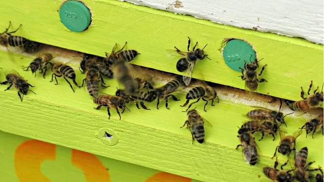 Honeybees enter a hive through a pollen trap designed to collect pollen the bees are carrying. Scientists then analyze it to see which plants the bees are using and assess the nutritional value of the pollen.