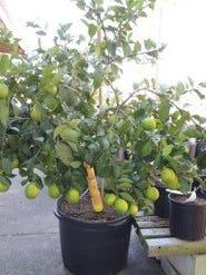 Lemon tree.