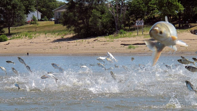 In this June 13, 2012 photo, Asian carp, jolted by an electric current from a research boat, jump from the Illinois River near Havana, Ill. The U.S. Army Corps of Engineers has proposed installing new defenses at an Illinois lock to prevent Asian carp from reaching the Great Lakes.