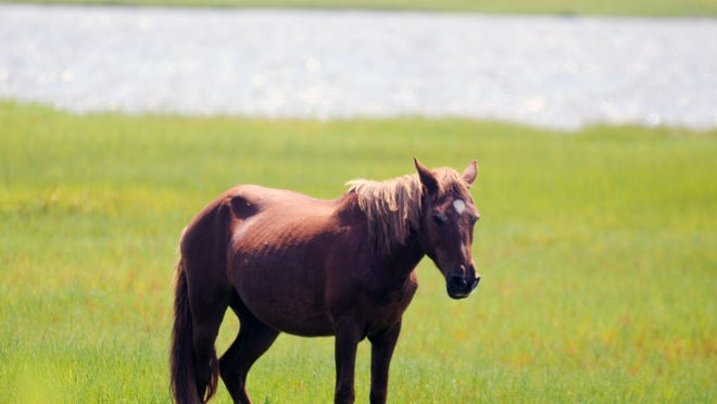An Assateague horse sleeps standing up in the marshes. This year marks the 50th anniversary of Assateague Island National Seashore, and a variety of family events are scheduled for both the Maryland and Virginia districts Sept. 19-21.