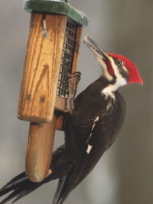 636208688863778082-male-pileated-woodpecker.jpg
