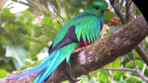 Resplendent Quetzal (photo credit: Keith Peterman)