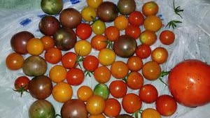 Freshly harvested garden tomatoes should be cleaned and stored quickly to preserve quality.