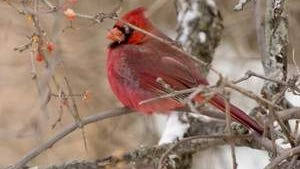 A northern cardinal feeds on berries Thursday morning near Ecology House in Cayuga Heights. Year-round resident birds are favorites of birders.