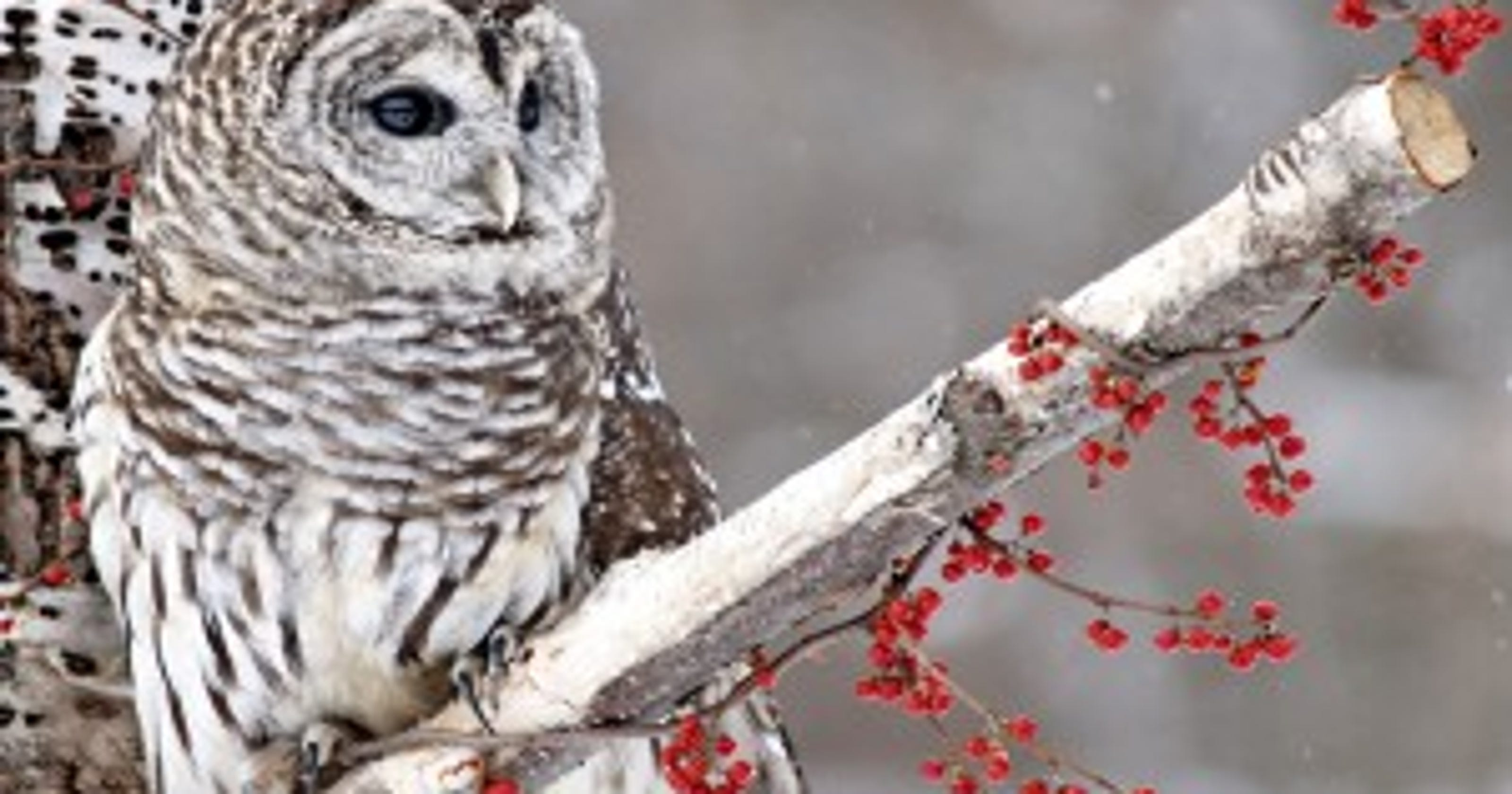 Barred owls are coldly efficient silent assassins