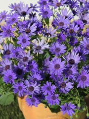 The beautiful daisy-like flowers of Senetti do well in window boxes, pots or in the ground.