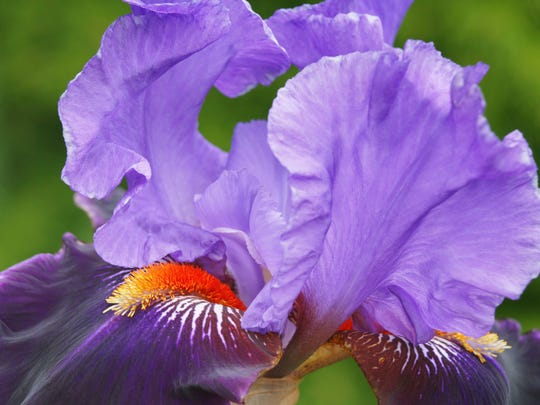 The American Irish Society Regional Meeting and Iris Show is set for May 13-15 at Riverdale High School on Warrior Boulevard in Murfreesboro. In addition to the show, there will be a silent auction and photo contest that is open to all ages. Meeting times are 5-8:30 p.m. May 13, 7 a.m. to 9 p.m. May 14 and 8:30-11 a.m. May 15. The free Iris Show is set for 1:30-5 p.m. May 14. Registration is $35 for the entire three-day event, which will feature seminars from iris experts. For more details about the event, email phil@rockytopgardens.com or call 615-274-6426.