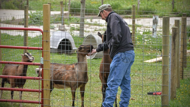 Jeff Stromwall checks on four goats he and his wife Charlene keep on their farm Friday, May 13, near Even Valley. The Stromwalls have started a nonprofit farm animal rescue.