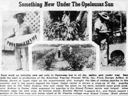 Photos of paprika crop in St. Landry Parish from the archives of the Daily World in July  1941.