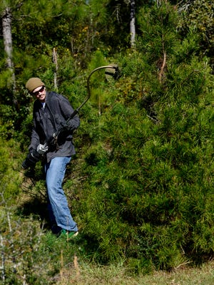 Jeremiah Lee shears a pine tree at Whispering Pines Christmas Tree Farm Nov. 23 in preparation for the busy holiday sales season. Each tree has to be trimmed by hand twice a year. The choose-and-cut tree farm officially opened their gates to the public the Saturday after Thanksgiving. Customers can choose and cut their own tree from around 35,000 trees on the 35-acre property near Chumuckla.
