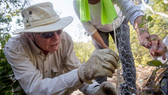 Jim Rodwell and Barbara Forster, members of the Coccoloba chapter of the Florida Native Plant Society, observe and measure the growth of a Curtiss' milkweed in a place secret to the public in Lee County on July 13, 2017. Due to habitat loss, the Curtiss' milkweed is an endangered native plant that is under close observation to preserve the species.