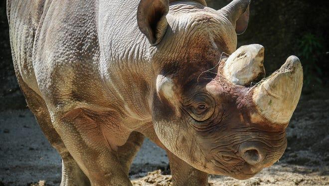 Pictured is Faru, the Cincinnati Zoo's black rhino.