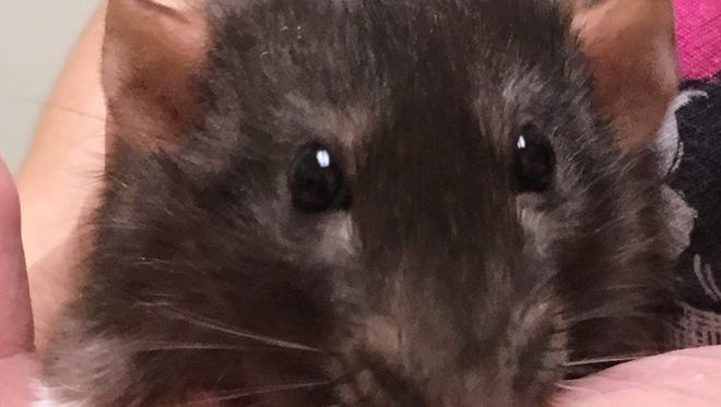 Oshkosh Northwestern's Pet of the Week is Sam the fancy rat. He and a friend, Honey, are looking for a forever home.