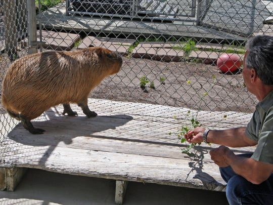 Charlie Sammut, Monterey Zoo director, offers Chipper some nice green leaves