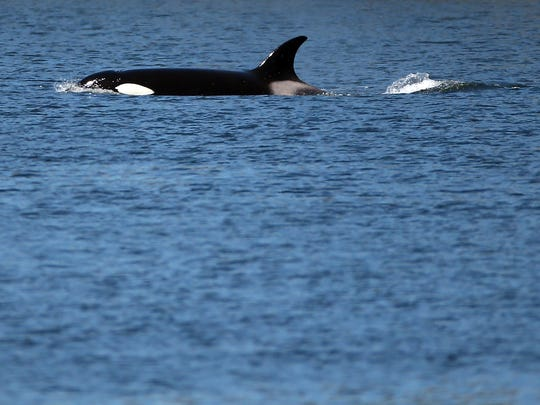 A transient orca surfaces in the Port Washington Narrows
