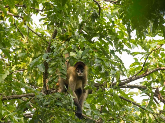 A black-handed spider monkey in a tree in Nicaragua. The endangered species is one of three Paso Pacifico focuses on.