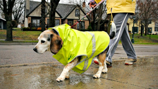 Emily, 10, took an inaugural walk in her new raincoat with owner Terre Severance on Monday along Riverside Drive. Emily was getting used to her new new coat after a few blocks of her afternoon walk.