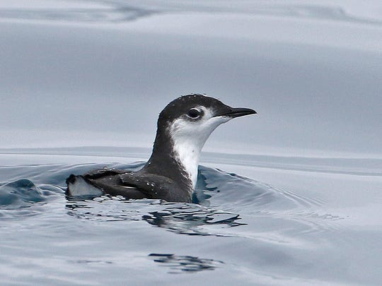 The Guadalupe murrelet is one of two Pacific seabirds