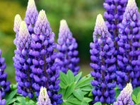 Why vegans and celiacs love lupin, the next big health craze