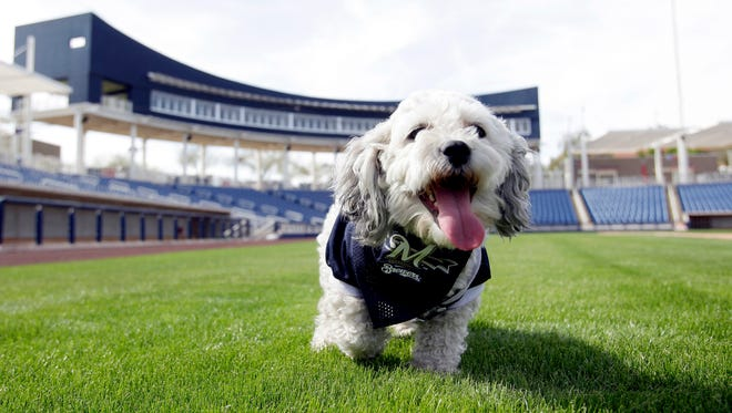 """In this Feb. 22, 2014, photo, Milwaukee Brewers mascot, Hank, is at the team's spring training baseball practice in Phoenix. The team has unofficially adopted the dog and assigned the name """"Hank"""" after baseball great Hank Aaron."""