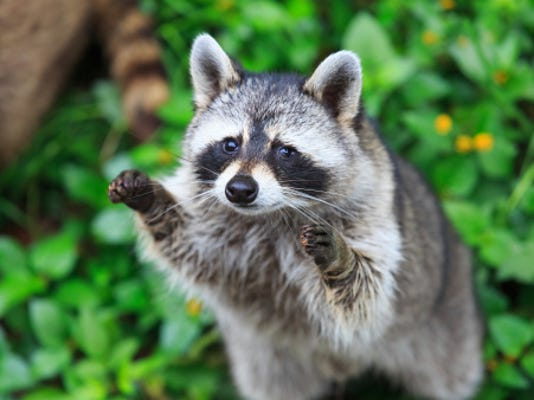 A stock image of a raccoon.