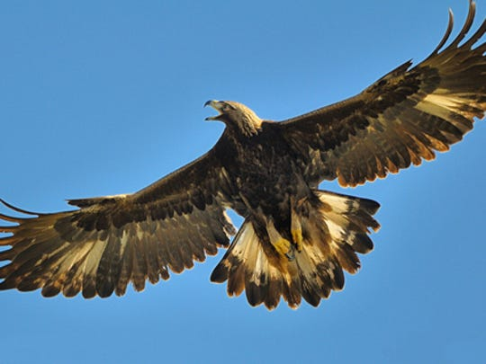 File photo of a golden eagle