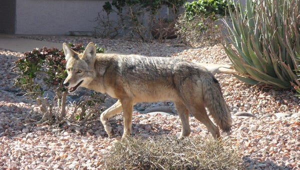 An urban coyote in the Sun City Grand subdivision in Surprise in March 2016.