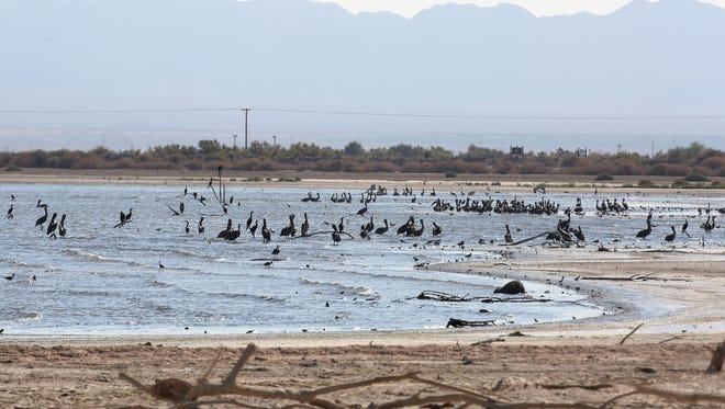 Thousands of birds roost at the Sonny Bono National Wildlife Refuge at the Salton Sea on Aug. 5, 2016.